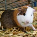 guinea-pig (1)